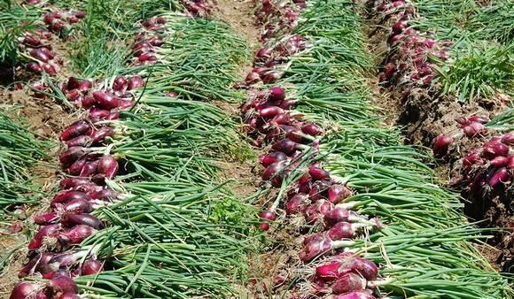 Cipola rossa di tropea igp dolce da gustare for Coltivare cipolle